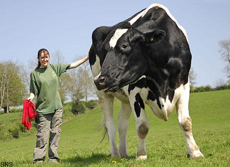 Vaca Gigante de Inglaterra