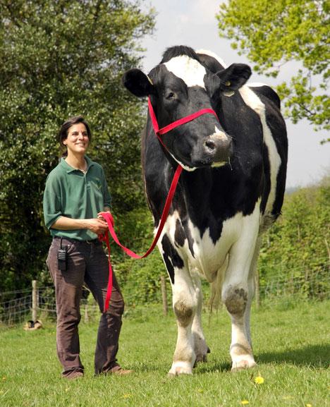 La vaca más grande del mundo