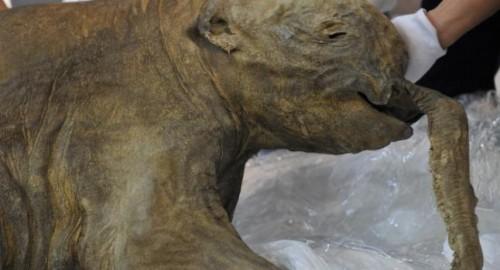 mamut Yuka