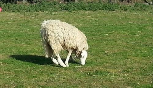 La oveja con la cabeza al revés