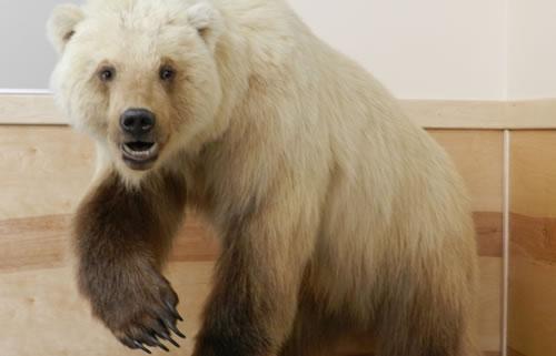 Grolar Hibrido entre Oso Polar y Oso Pardo