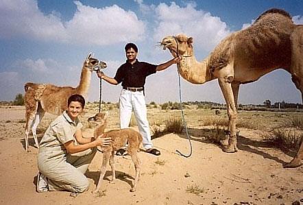 Hibrido entre Camello y Llama : Cama