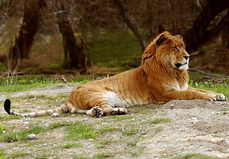 El Ligre : Cruza híbrida entre el Leon y la Tigresa