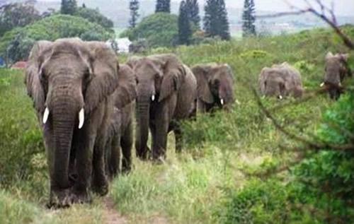 Fila de elefantes