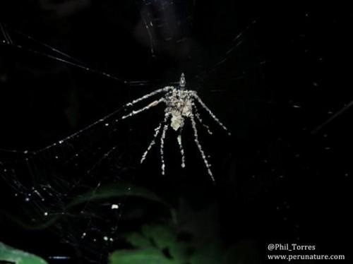 Araña decoradora