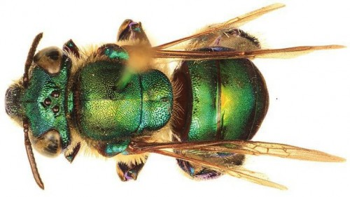 Euglossa williamsi,