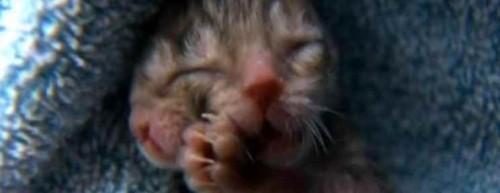 Un gato con dos caras nacio en EEUU