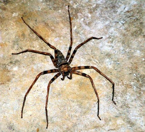 Araña Heteropoda