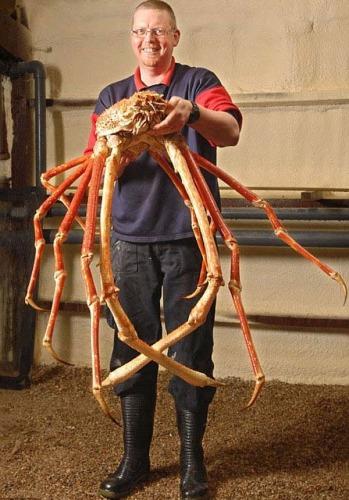 El cangrejo araña más grande del mundo