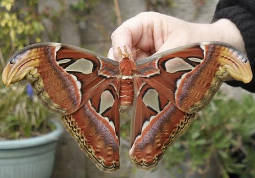 Mariposa Gran Atlas