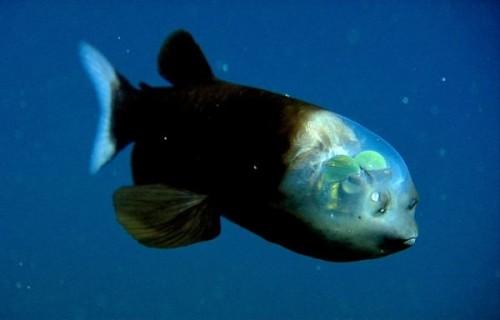 La-Barreleye-o-pez-duende