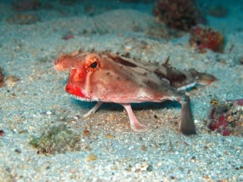Pez-murciélago-de-labios-rojos