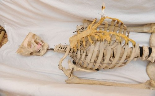 esqueleto humano en escuela británica