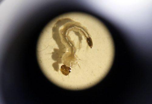 Larva de Aedes