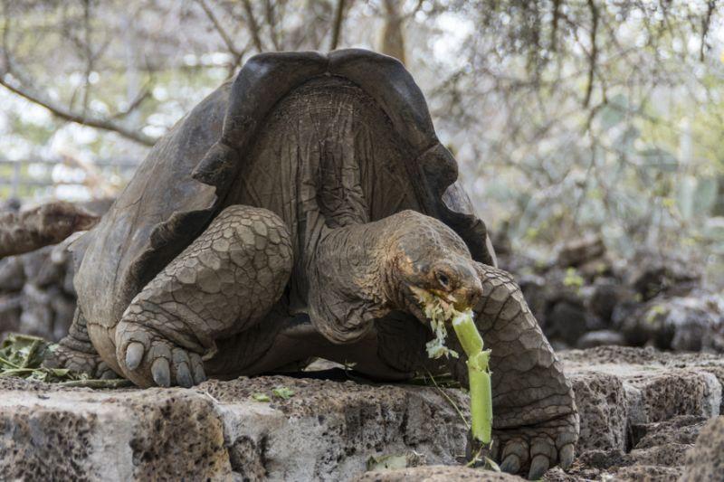 La tortuga gigante de Galápagos