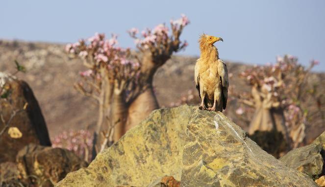 La increible fauna de Socotra