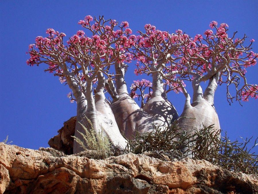 Socotra esta en peligro de extinción