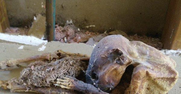 momia de extraño animal